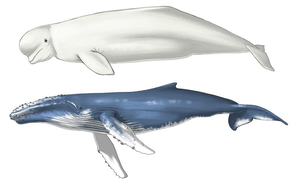 Bélouga et baleine à bosse