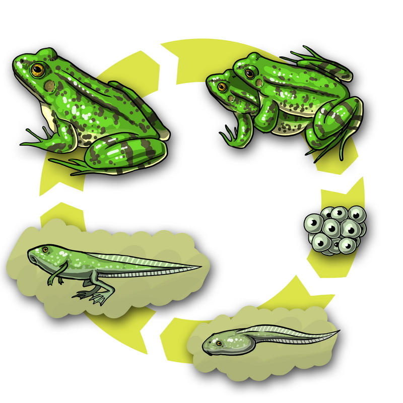 Cycle Grenouille