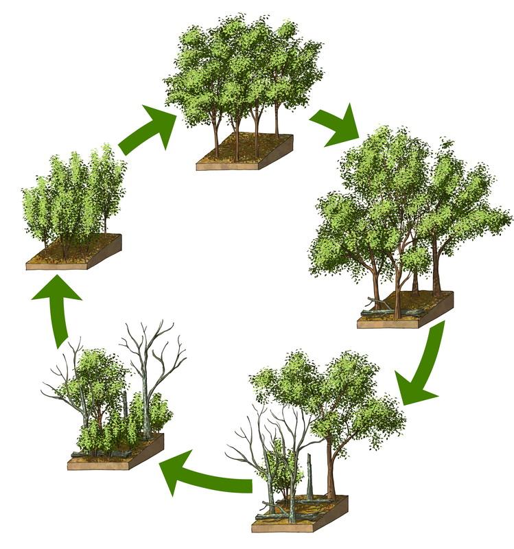 Cycle de régénération de la forêt