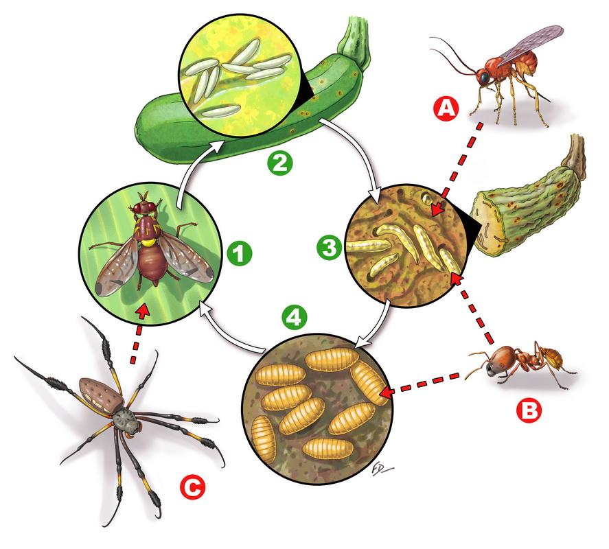 Cycle de vie mouche