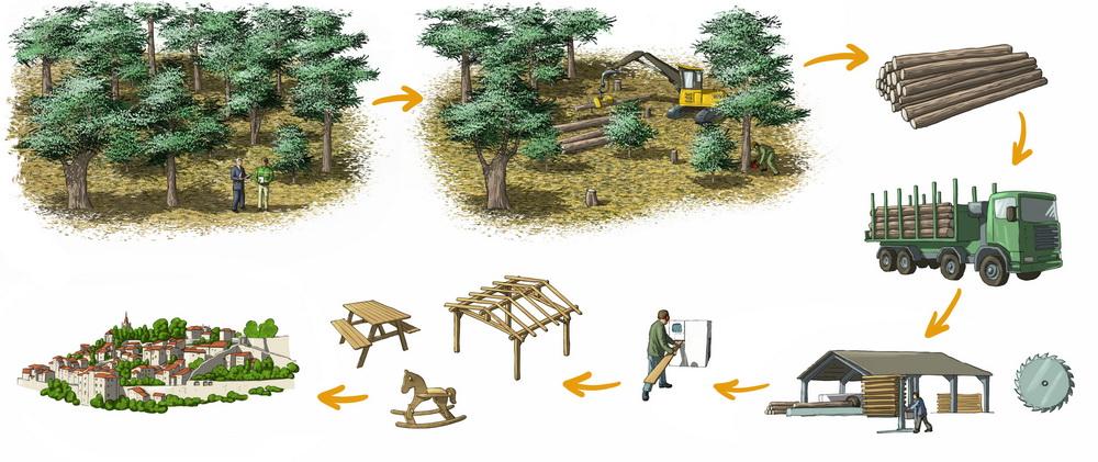 Cycle du bois de cèdre