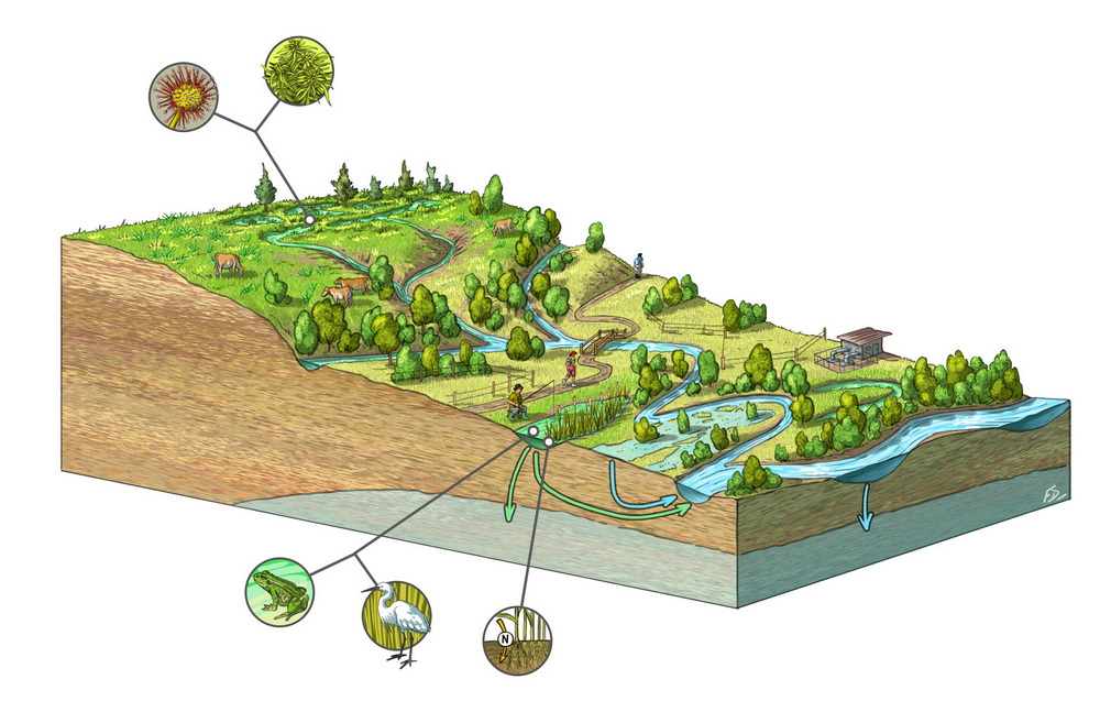 Fonctions des zones humides