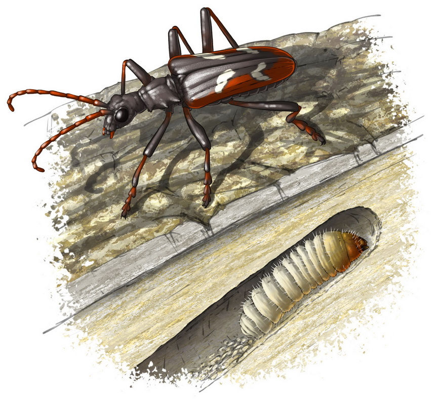 Longicorne et larve