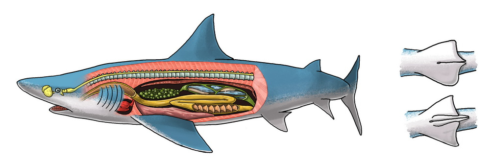 Morphologie du requin