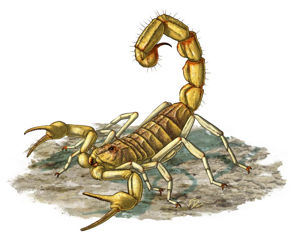 Scorpion jaune languedocien